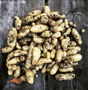 Potatoes grown in compost