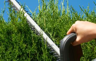 How to trim a privet hedge