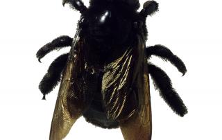 carpenter bee sting