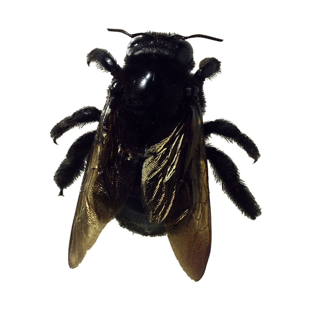 carpenter bee sting